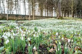 Best places to see snowdrops in Derbyshire
