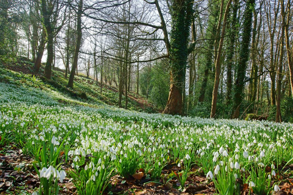 Places to see snowdrops in the Peak District